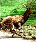 Stag on run from a hunt