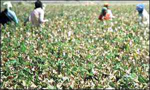 Indian cotton pickers