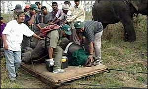 Drugged rhino being loaded for transfer