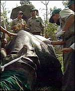 Rhino being drugged for transfer