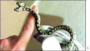 لأنواع كثيرة الثعابين كبيرة وصغيرة !!!! _36821257_snake.jpg