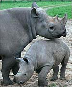 Adult black rhinoceros with its young