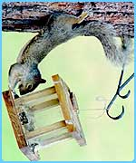 Squirrels will do anything for nuts!