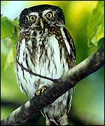 The smallest European Owl - Pygmy Owl.  �Fero Bednar