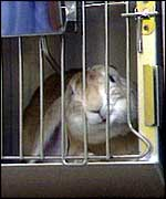 Caged rabbit   BBC