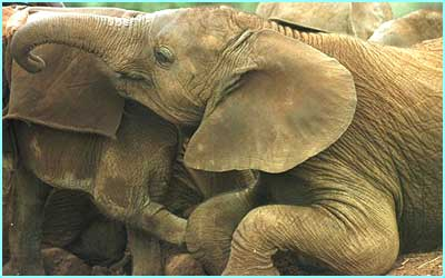 These elephants live in Kenya. They were orphaned when their parents were killed by poachers who wanted their tusks