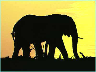 This African elephant enjoys the sunset on the African plain