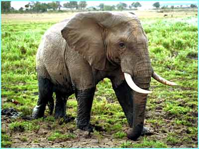 This African elephant lives in the Masai Mara safari park in Kenya
