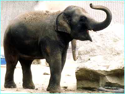 This baby elephant used to live in London Zoo until it was moved to Whispnade Wildlife Park for a better life
