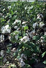Cotton, USDA