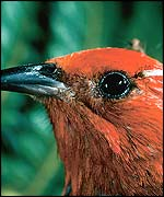 Hawaiian forest birds (Science/CDC/Photo by Jack Jeffrey)