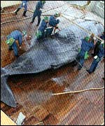 Sperm whale being measured