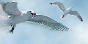 BBC NEWS | UK | The return of the seagulls