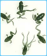 Some of the mutated frogs