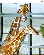Giraffes Samson (background) and Lyuba (underneath) meet for the first time in Moscow Zoo