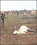 Carcass of cattle