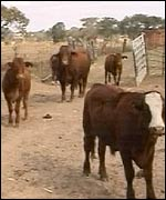Cows in a white-owned farmed