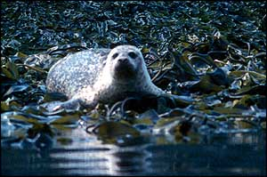Common seal   SMRU