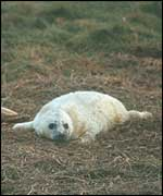 Greay seal pup   A Hall