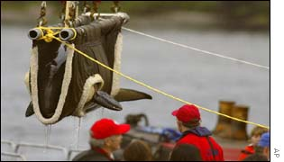 The whale being lifted onto the boat