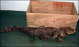 One of the African Dwarf Crocodiles found at Heathrow en route from Nigeria to Korea