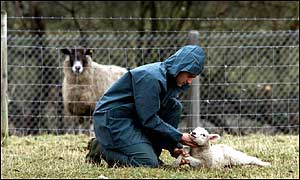 A vet inspects a lamb for foot-and-mouth disease