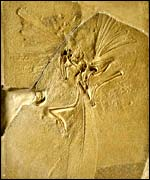 Archaeopteryx fossil, Natural History Museum