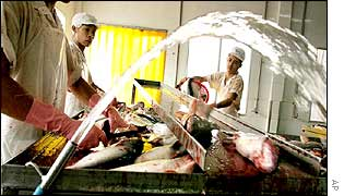 Vietnamese men work in a catfish factory