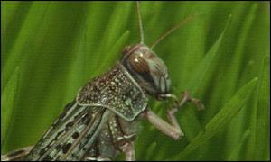 BBC NEWS   Africa   Locust plague threatens Madagascar
