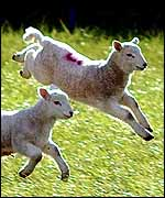 Lambs could be among animals to be vaccinated