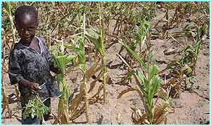 Wilted maize in Zimbabwe
