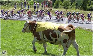 A cow does an unconvincing impersonation of Lance Armstrong