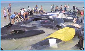 Forty-six of the 55 whales were saved