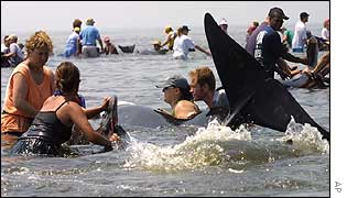 Rescue workers try to return a beached whale to the sea