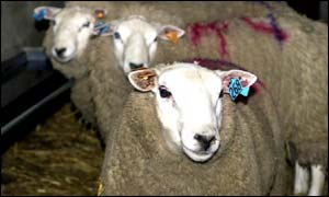 Sheep identified for slaughter