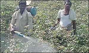Indian farm-workers spraying pesticide