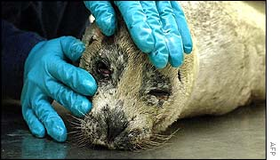 Dead seal is examined