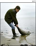 A dead seal is dragged out of the Wadden Sea