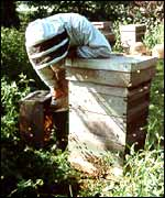 A beekeeper in the apiary