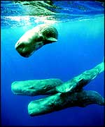 Three sperm whales beneath surface   Unep
