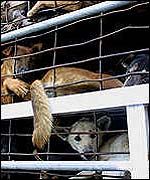 Dogs awaiting slaughter for meat