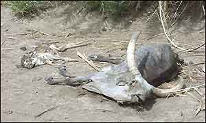Dead cattle in Afar