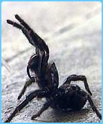 Fear of spiders is one of the most common phobias