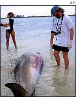 Dead whale beached on Abaco Island in Bahamas, 15 March, 2000