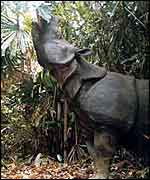 Javan rhino in Indonesia   � Foead, Yahya and Sumadi/WWF