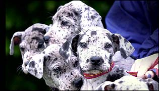 a litter of abandoned Great Dane puppies