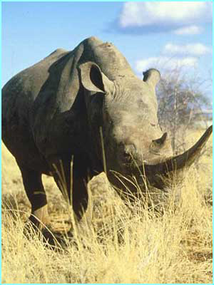 A rare white rhino in Kenya