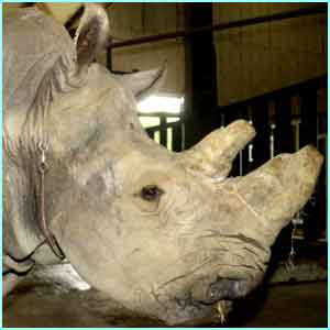 Thelma the southern white rhino