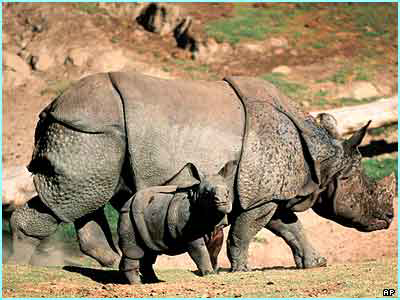 Greater Asian one-horned rhino with calf