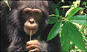 http://news.bbc.co.uk/media/images/38196000/jpg/_38196755_chimp_bbc300.jpg